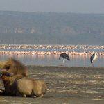 Mon Top 5 des visites au Kenya: Nakuru, Samburu, Amboseli, Tiwi!