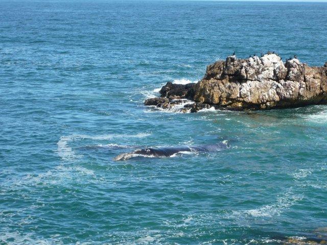 Baleines à Hermanus