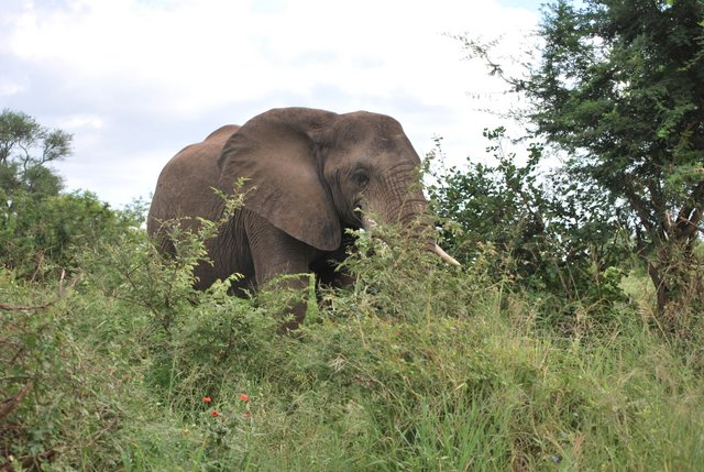 Safari au Kruger