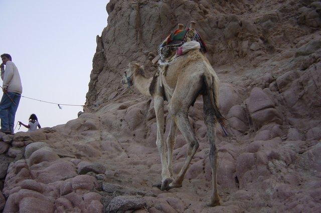 Balade en dromadaire Dahab