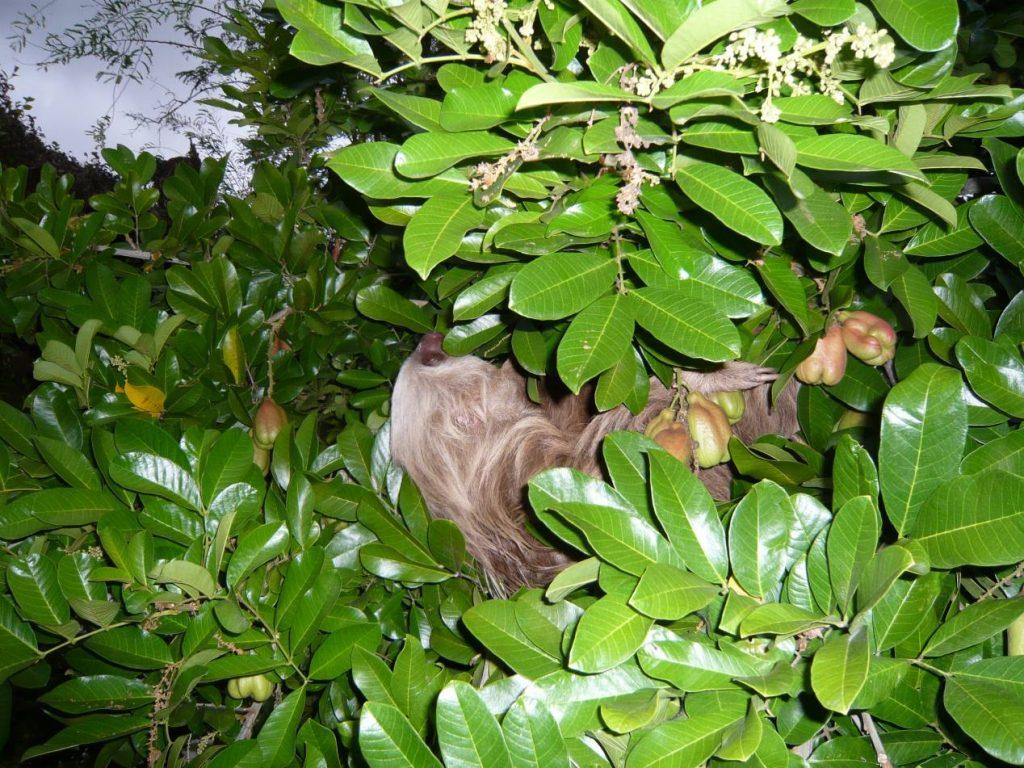 paresseux-costa-rica