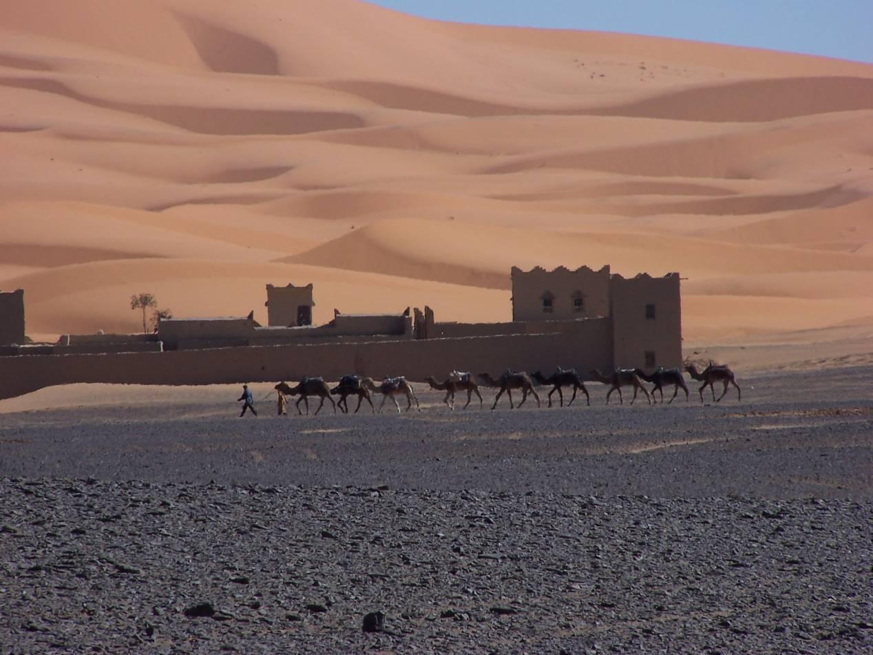 chameau maroc