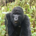 Rencontre avec les Gorilles du Rwanda…