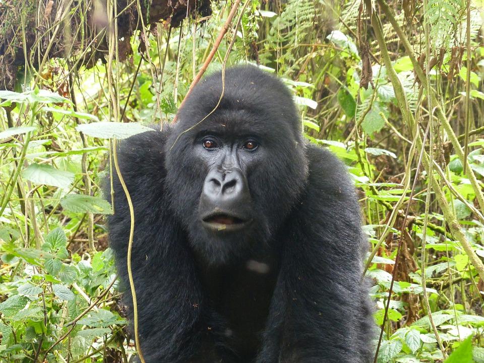 gorille montagne rwanda
